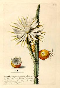 Cereus, Trew, Impressum [Augsburg] : Haid, (1751), H61/2 RAR.A 24[1/3