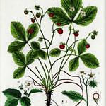 Illustration Fragaria